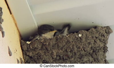 Swallow scat droppings from the nest. - Clay Swallows Nest,...