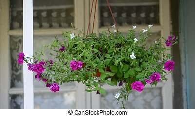 Petunia flowers in pot outdoors in summer - Petunia flowers...