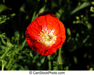 papaver poppies red green flower