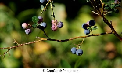 Blueberries on the bush - Blueberries on a bush on a green...