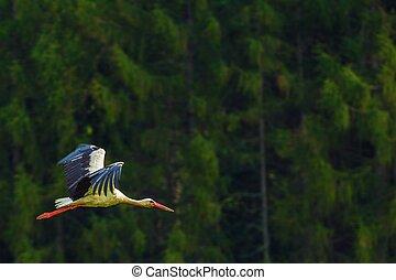 Flying White Stork Bird - Flying Large White Stork Bird Wild...