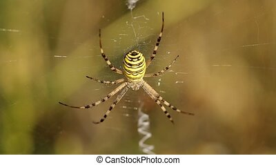 Wasp spider argiope bruennichi on green background