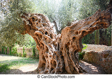 olive tree secular - rare secular olive tree in Italy...