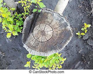 Tree stump, top view