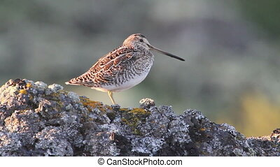 Common snipe in Iceland