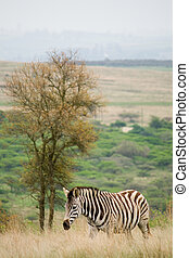 zebra in bushveld - a zebra next to a tree in the bushveld