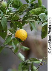 Orange fruit grows on the branch