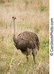 ostrich - photo of african ostrich