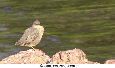 American Dipper - an american dipper on a rock next to a...