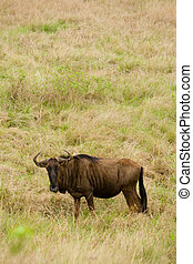 wildebeest gnu - a wildebeest gnu in game reserve