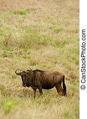 wildebeest,  gnú