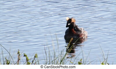 Black necked grebe - Beautiful shot Black necked grebe...