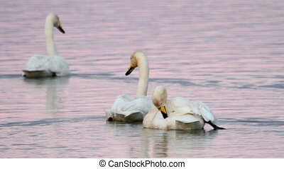 Whooper swan searching for food in the lake
