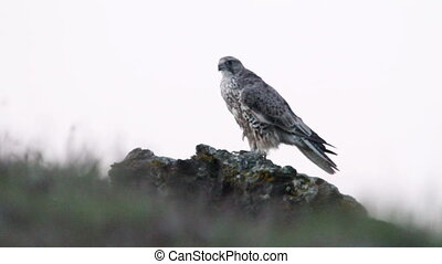 Gyr Falcon in Iceland nature