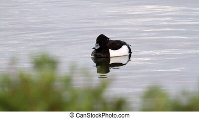 Greater Scaup in Iceland Lake