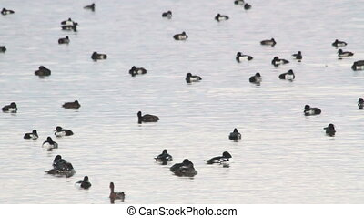 Barrows goldeneye flock - barrows goldeneye flock in Iceland...
