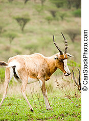 african wildlife - african impala antelope in game reserve