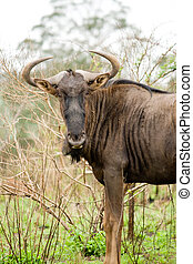 gnu - a gnu in african game reserve