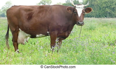 Brown Cow Grazing in Pasture - Brown Cow Grazing Green Grass...