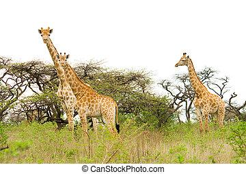 giraffes - a herd of giraffes