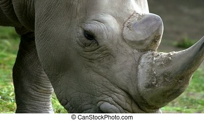 white rhinoceros in a zoo
