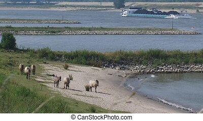 Konik horses roam along the river banks near Gendtse Waard...