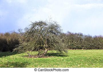 apple tree in typical rural landscape in Hesse, Germany -...