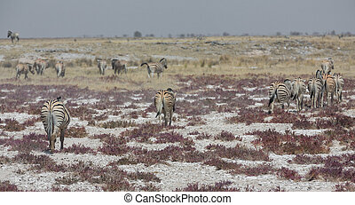 Rear view of zebras in the savannah - Zebras walking in the...