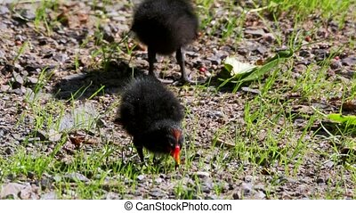 moorhen - young and adult in summer