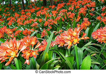 Flowering Clivia Plants in Tropical Garden Monte Palace. Funchal, Madeira Island.