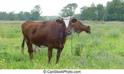 Brown Cow Grazing in Pasture