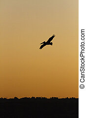 Pelican on sunset flight