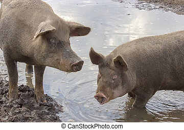 Pigs in a Puddle