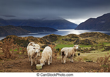 Mount Roys, Wanaka, New Zealand - Sheep licking salt, Mount...