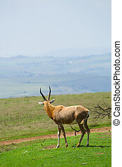 antelope - african antelope standing in nature reserve