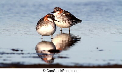 Red necked phalarope birds in Iceland lake the lake