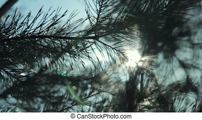 Coniferous branch with sun light, HD