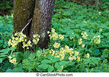 primrose - yellow primrose in green meadow