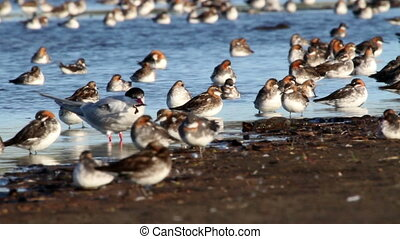 Red necked phalarope flock in Iceland Lake
