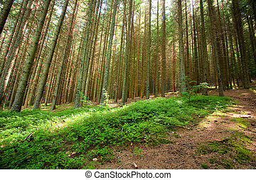 Pine forest - Landscape with pine forest on a mountain
