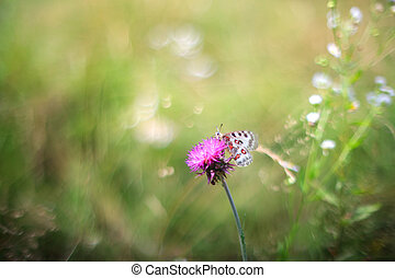 Butterfly on flower - View of the Apollo or Mountain Apollo...