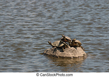 turtles basking on rock - red-eared slider turtles basking...