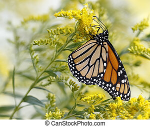 Monarch Butterfly Nectaring on Canada Goldenrod - A Monarch...
