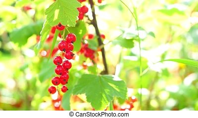 Natural ripe red currant in the end of summer