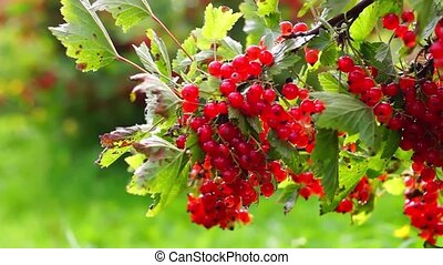 Bush of red currant berries - Natural ripe red currant in...