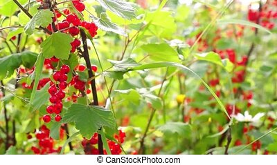 Bush of red currant on sunny day - Natural ripe red currant...