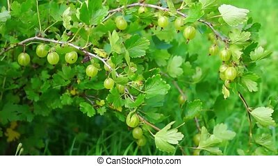 Gooseberry bush in summer - Natural gooseberry bush in...