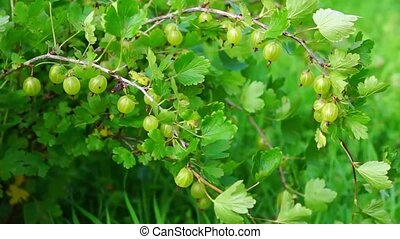 Gooseberry bush - Natural gooseberry bush in summer
