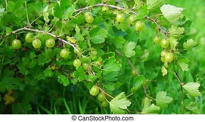 Gooseberry bush - Natural gooseberry bush in summer