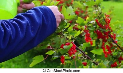 Plucking of red currants - Plucking of ripe red currants
